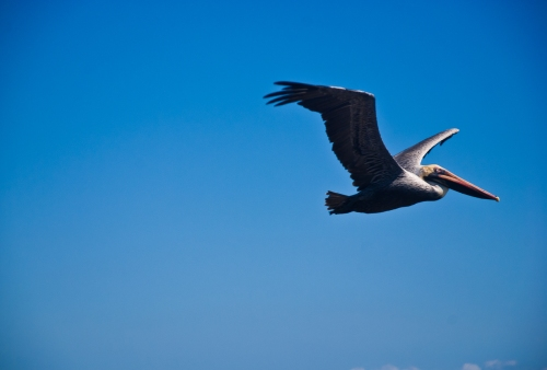A pelican flies over the Montezuma coast before diving for fish.