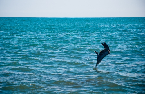 The moment a pelican breaks the surface of the water as it dives for fish on the Montezuma coast.